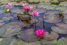 Flores rosados o rojos del loto en el verano Imagenes de archivo