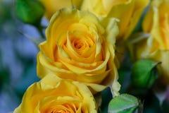 Flores rosas amarelas fundo textura feriado o 8 de março imagem de stock