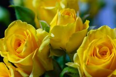 Flores rosas amarelas fundo textura feriado o 8 de março foto de stock royalty free