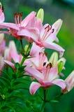 Flores rosas claras de un lirio Imagen de archivo