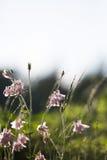 Flores rosas claras del aquilegia Fotografía de archivo libre de regalías