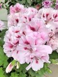 flores rosas claras del geranio del Pelargonium Foto de archivo libre de regalías