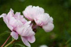 Flores rosas claros de la peonía en la plena floración Foto de archivo
