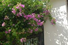 Flores rosas, jardÃnfrontal royaltyfri foto