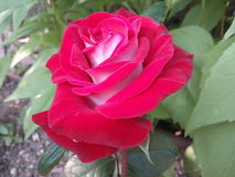 Flores, rosas, vermelho, único, natureza, objetos, fundos, feriado, isolado, dia, pétalas, ` s do Valentim, cores, branco, não, p Imagem de Stock
