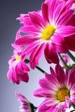 Flores roxas Fotografia de Stock