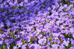 Flores roxas Imagens de Stock Royalty Free