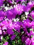 Flores roxas Fotos de Stock