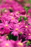 Flores roxas Fotografia de Stock Royalty Free