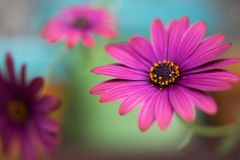 3 flores roxas Foto de Stock Royalty Free