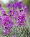 Flores roxas Imagens de Stock