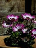 Flores roxas foto de stock royalty free