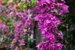 Flores roxas bonitas Foto de Stock Royalty Free