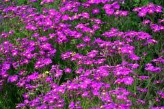 Flores roxas bonitas ao longo da costa da ilha de Griffiths em Victoria Imagens de Stock