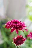 Flores roxas bonitas   com luz suave Foto de Stock Royalty Free