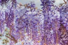 Flores roxas bonitas da glicínia que florescem no jardim da mola imagem de stock