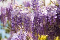 Flores roxas bonitas da glicínia que florescem no jardim da mola imagem de stock royalty free