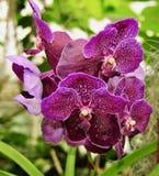 Flores roxas bonitas de Vanda Orchid Fotografia de Stock Royalty Free