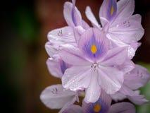 Flores roxas bonitas Jacinto de água ou de crassipes do Eichhornia flor da flor na natureza fotografia de stock royalty free