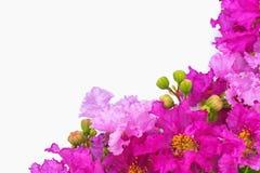 Flores roxas bonitas no fundo branco Foto de Stock Royalty Free