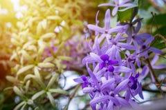 Flores roxas bonitas no jardim, videira da lixa Imagem de Stock