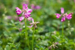 Flores roxas bonitas sob o sol Fotografia de Stock Royalty Free