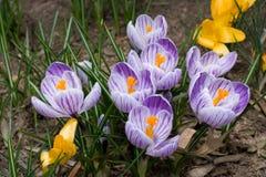 Flores roxas/brancas do açafrão Fotografia de Stock