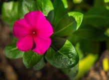 Flores roxas brancas no jardim Imagem de Stock Royalty Free