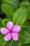 Flores roxas brancas no jardim Imagens de Stock