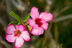 Flores roxas brancas no jardim Fotografia de Stock Royalty Free