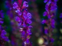Flores roxas brilhantes Fotografia de Stock
