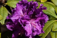 Flores roxas brilhantes bonitas em um jardim da mola foto de stock royalty free