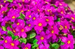Flores roxas brilhantes do jardim Imagem de Stock Royalty Free