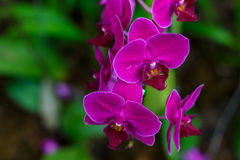 Flores roxas coloridas da orquídea Imagens de Stock
