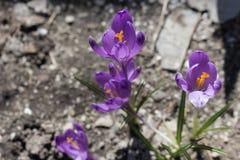 Flores roxas com as folhas verdes na opinião do prado de cima de Conceito da mola e da flor Flores de florescência do açafrão Imagens de Stock