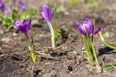 Flores roxas com as folhas verdes no prado Conceito da mola e da flor Flores de florescência do açafrão Imagens de Stock Royalty Free
