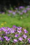 Flores roxas com fundo roxo Fotos de Stock Royalty Free