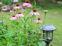 Flores roxas constantes do cone com luz solar Fotografia de Stock Royalty Free