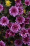 Flores roxas Crisântemo - perennials e anuário herbáceos fotos de stock