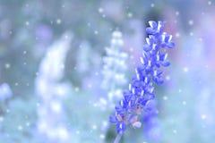 Flores roxas da alfazema no campo Imagens de Stock