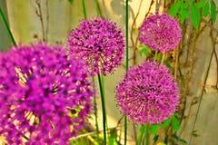 Flores roxas da bola, Allium Fotos de Stock Royalty Free