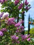 Flores roxas da borboleta no bosque do carvalho imagem de stock royalty free