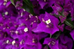 Flores roxas da buganvília Fotografia de Stock Royalty Free