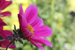 Flores roxas da dália Fotos de Stock Royalty Free
