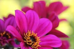 Flores roxas da dália Foto de Stock Royalty Free