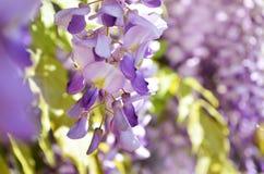 Flores roxas da glicínia Flor do lilás da mola Imagens de Stock