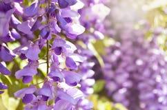 Flores roxas da glicínia Flor do lilás da mola Imagens de Stock Royalty Free
