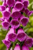 Flores roxas da luva do Fox Imagens de Stock