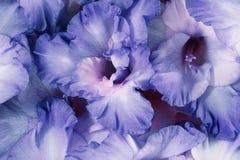 Flores roxas da mola foto de stock royalty free
