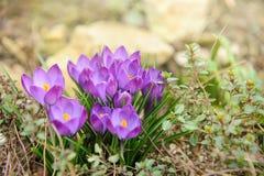 Flores roxas da mola Imagem de Stock Royalty Free